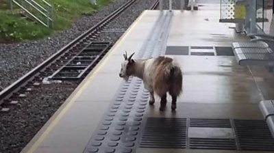 Missing goat found at tram stop in Sale