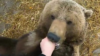 Bear with man's hand in his mouth