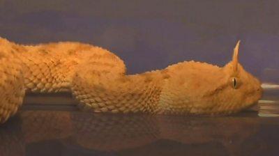 horned pit viper