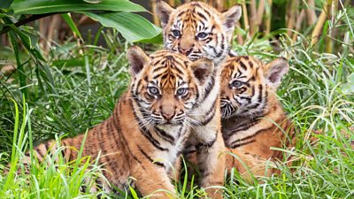 Three tiger cubs at Sydney Zoo