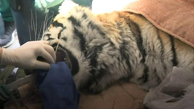 Tiger on operating table