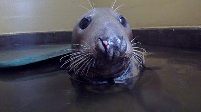 Sir David the Horsey seal