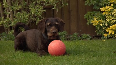 Dog kneeling on the ground behind a ball