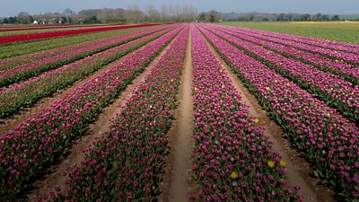 Pink tulips in a west Norfolk field
