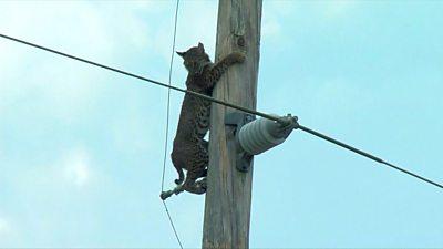 A wild bobcat climbs down a power pole in Florida