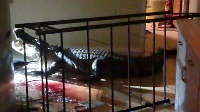 Alligator in kitchen