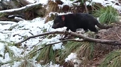 Snow may have caused travel issues in Australia, but these Tasmanian Devils had an early Christmas.