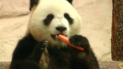 Panda in Moscow Zoo