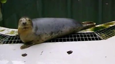 Scientists trained a seal to sing an out of tune version Star Wars and also Twinkle Twinkle Little Star.