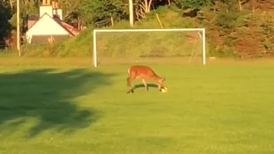 The deer was playing football in Lochinver in the Scottish Highlands.
