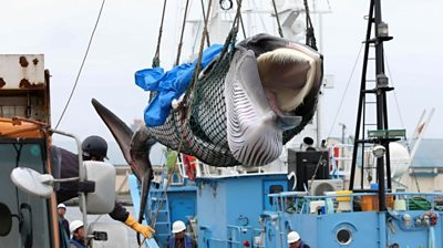 The five ships that set sail are the first to commercially hunt whales in Japan in more than 30 years.