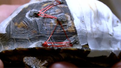A North Carolina wildlife rescue came up with an ingenious way to mend cracked turtle shells: bra clasps, glue and string.