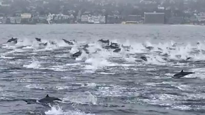 Dolphins stampede off California coast