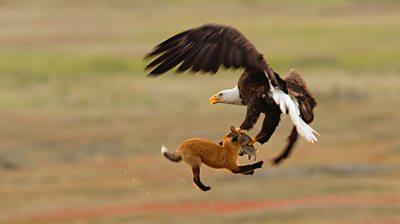 Eagle grabs prey