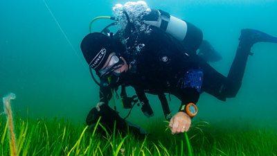 A diver picks Seagrass