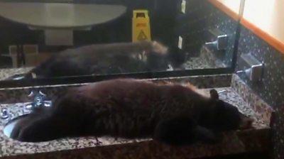 bear asleep in a sink