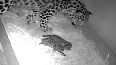 Leopard cubs with their mother