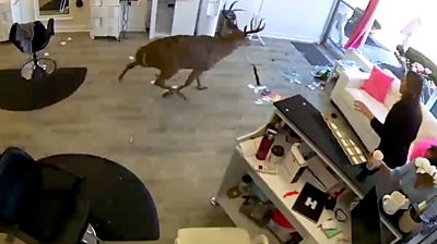 Deer in salon