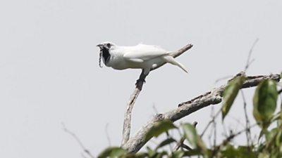 A white bellbird