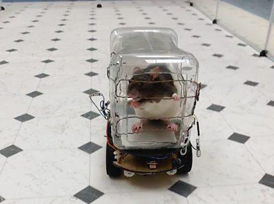 Rat peeking out of a little plastic car