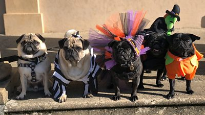 """Dogs dressed up for """"Pug'o'ween"""""""