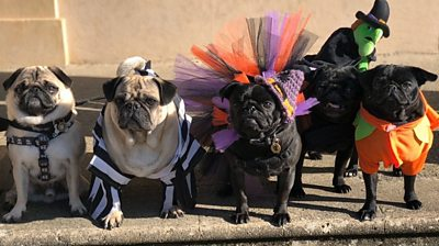 """""""Pug'o'ween"""" dogs in Norwich"""