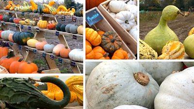 A patchwork of pumpkins
