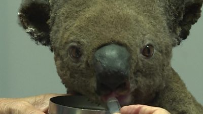 The koala drinks through a syringe