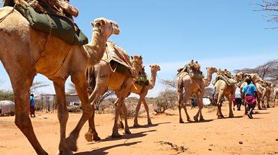 moving camel caravan