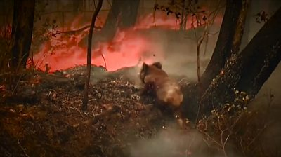 Bushfires are spreading across Australia's east coast, ravaging the marsupial's main habitat.