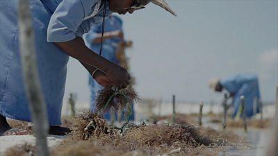 Seaweed farming in Zanzibar