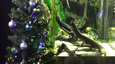 Electric eels in the Tennessee Aquarium