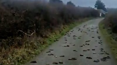 Dead birds on road