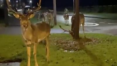 Deer were spotted in Lawley, Telford