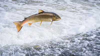 Salmon are abandoning Welsh rivers because as waters become warmer, warn experts