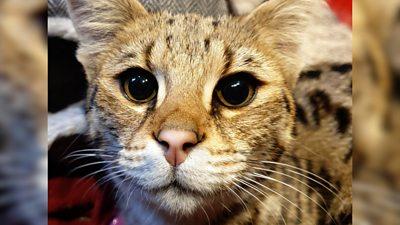 Meet Flerken the rescued half wildcat, half domestic pet