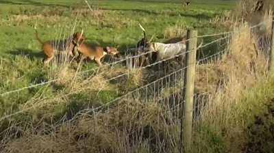 Dogs attempt to maul a deer