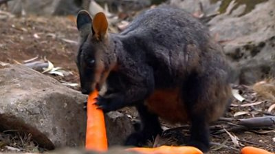 A wallaby eating a carrot