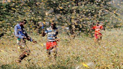 Men fighting a locust swarm