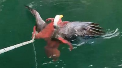 Octopus and eagle square off at Canadian fish farm