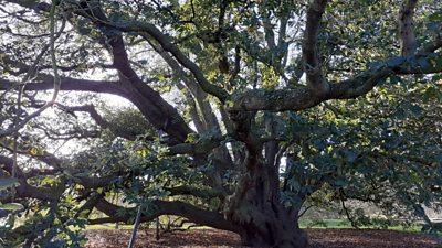 Turner's oak tree in Kew Gardens