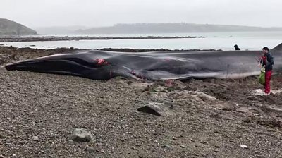 Whale stranded on beach in Cornwall