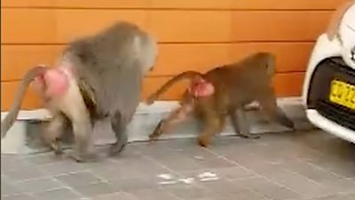 Two baboons after their escape