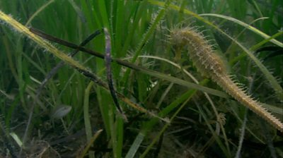 Seahorse among seagrass