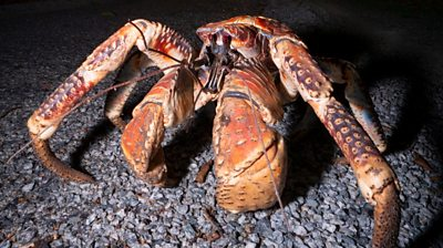 Large robber crab