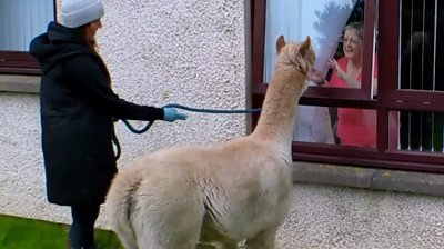 The residents had the change to see the alpacas through their windows.