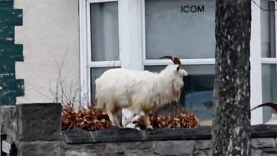 Goat outside house
