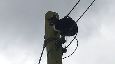 The semi-feral male spent 24 hours at the top of the 9m (30ft) pole.