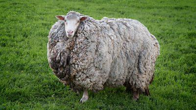 Sheep with large fleece