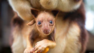 Tree Kangaroo joey in pouch